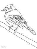 blue jay coloring page