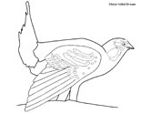 Sharp-tailed grouse coloring page