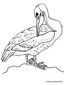 Eastern brown pelican coloring page