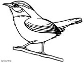 Carolina Wren coloring page