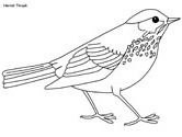 Hermit Thrush coloring page