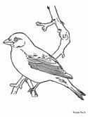Purple Finch coloring page