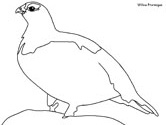 Willow Ptarmigan coloring book page