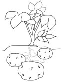 Polish potato coloring page