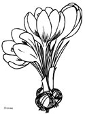 spring crocus coloring page