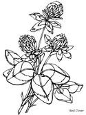 red clover coloring page