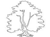 yew tree coloring page